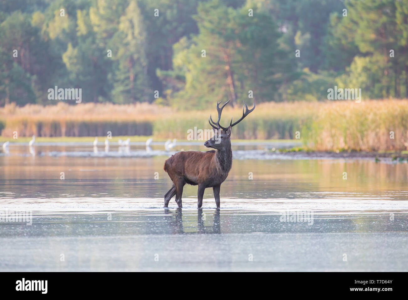 Solitary red deer (Cervus elaphus) stag standing in shallow water of lake / stream / river during the rut in autumn / fall - Stock Image