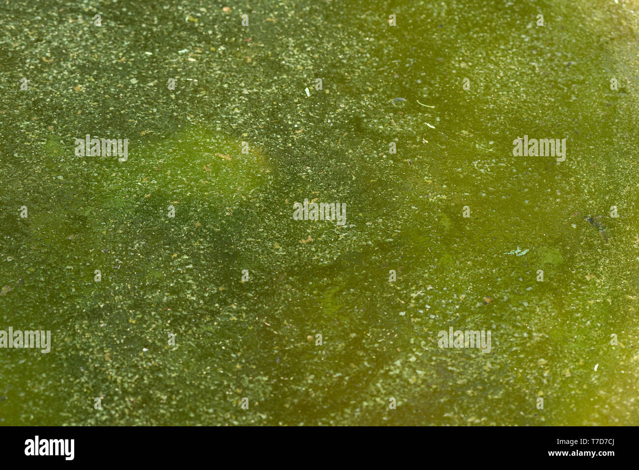 Green algae growing in stagnant still water Stock Photo