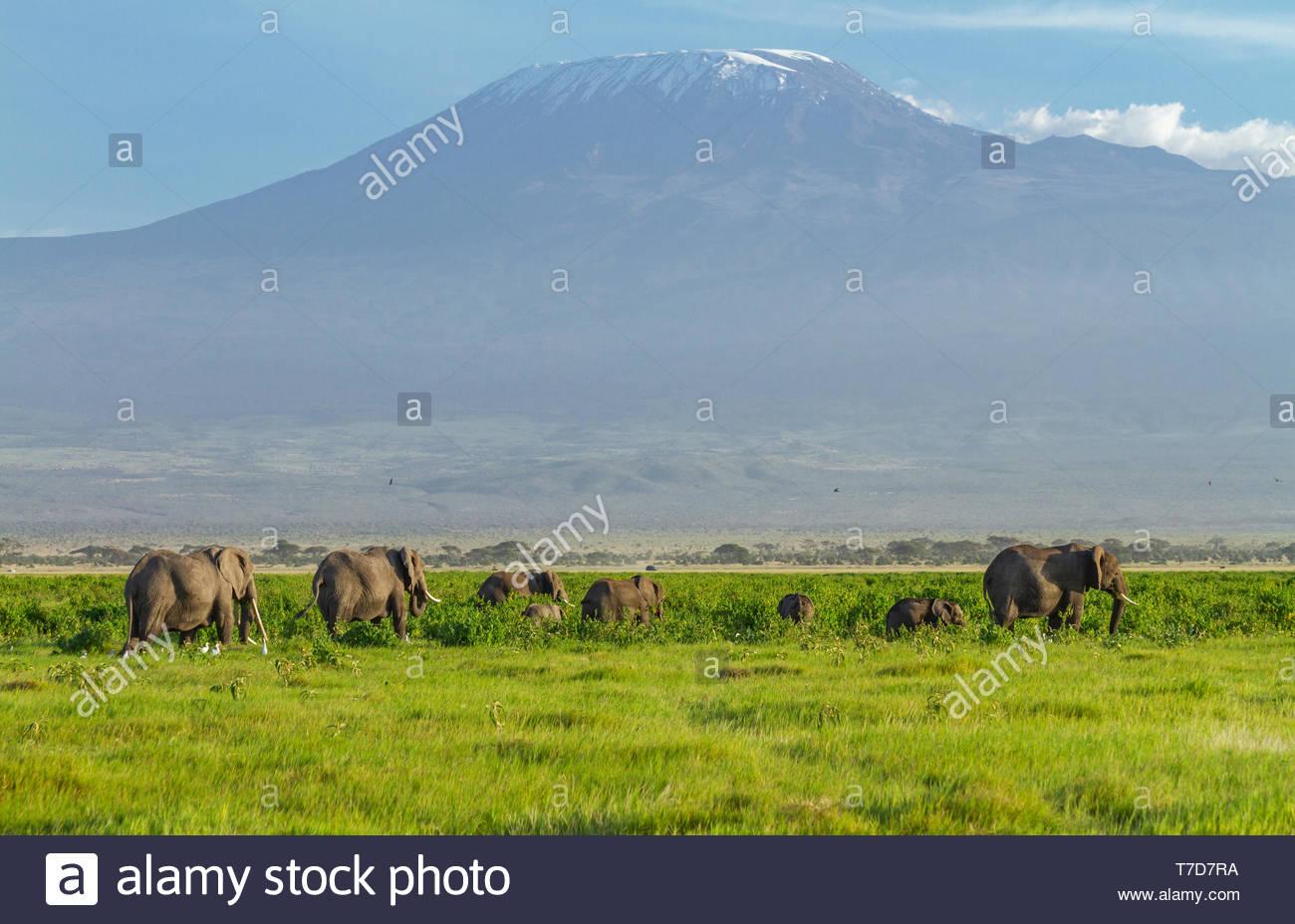 Elephant herd tuskers baby calves Loxodonta Africana front of Mount Kilimanjaro Amboseli Kenya East Africa blue sky wallpaper screensaver background - Stock Image