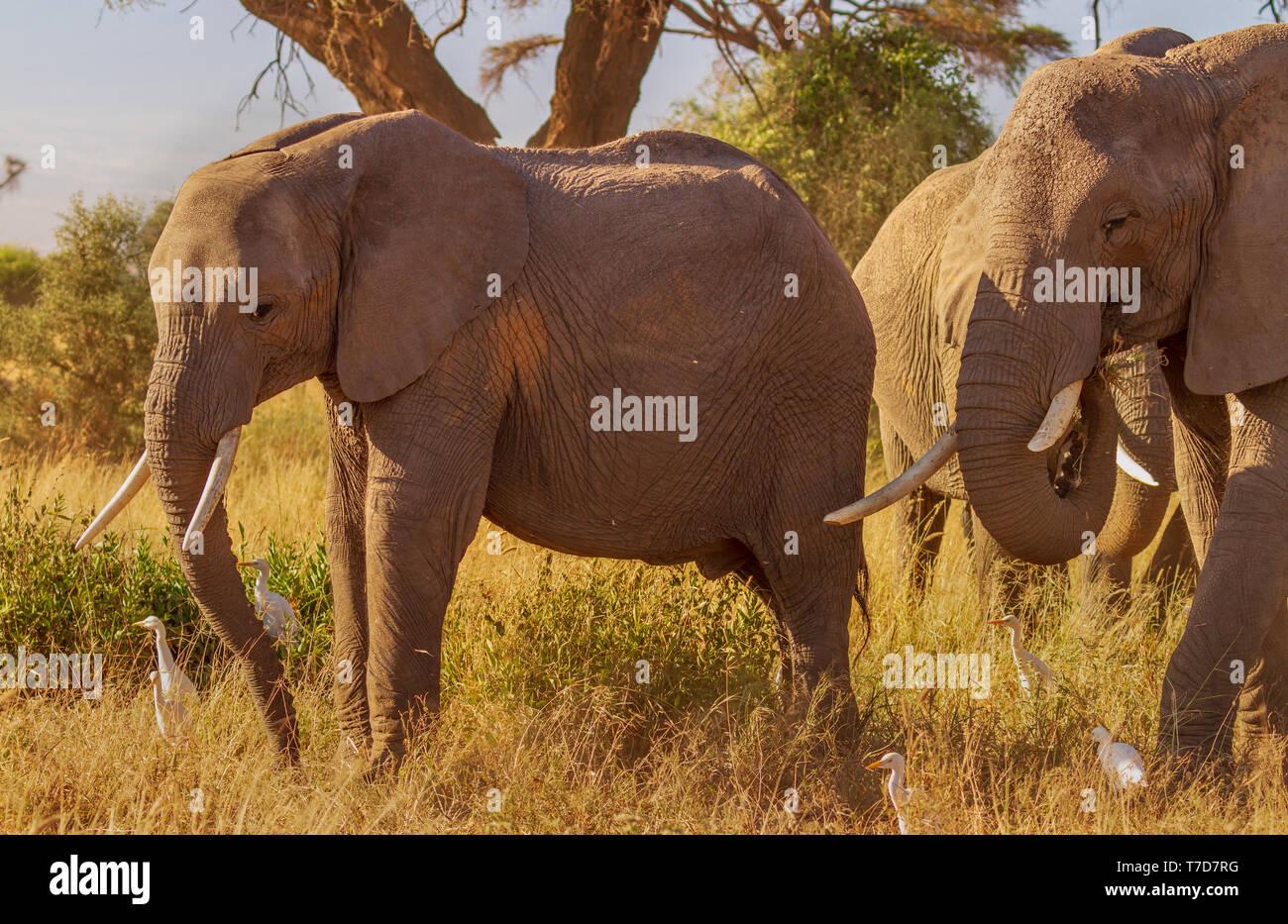 Smiling happy Elephants with tusks in warm sunshine Loxodonta Africana Safari travel Amboseli National Park Kenya East Africa Stock Photo