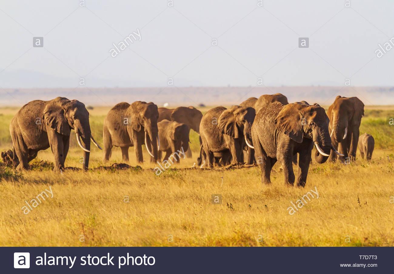 Herd Tusker Elephants Loxodanta Africana Eat On The Move
