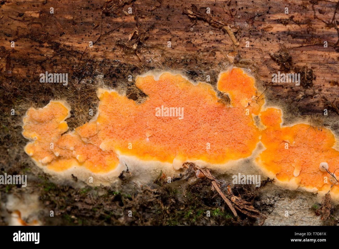 wrinkled crust, (Phlebia radiata) - Stock Image