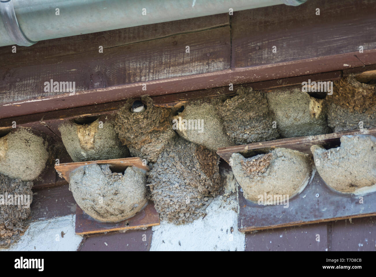 house martin, nests, Baden-Wuerttemberg, Heilbronn-Franconia, Germany, (Delichon urbica) - Stock Image