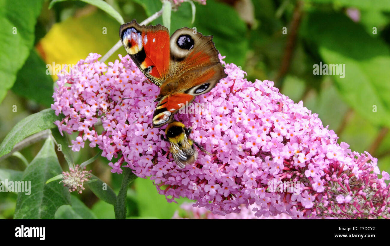 A Peacock butterfly  and a bee feeding on nectar on a Buddleia Davidii flower in an English country garden - Stock Image