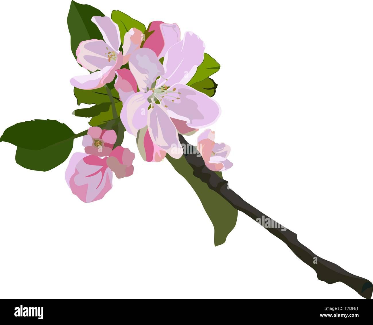 Apple tree branch in blossom, vector isolated illustration - Stock Vector