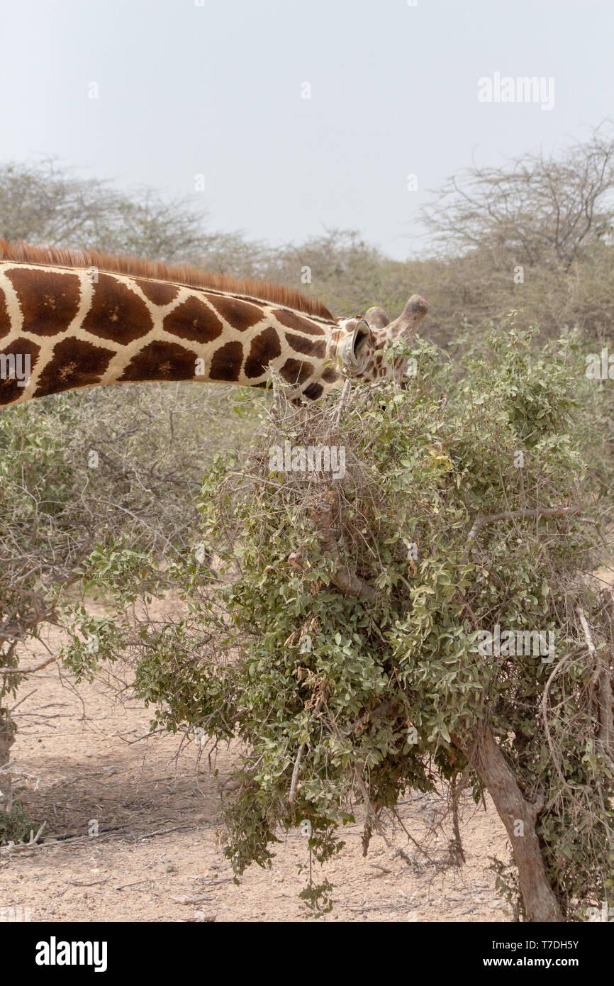 Sir Bani Yas Island, the Arabian Wildlife Park, Abu Dhabi, UAE - Stock Image