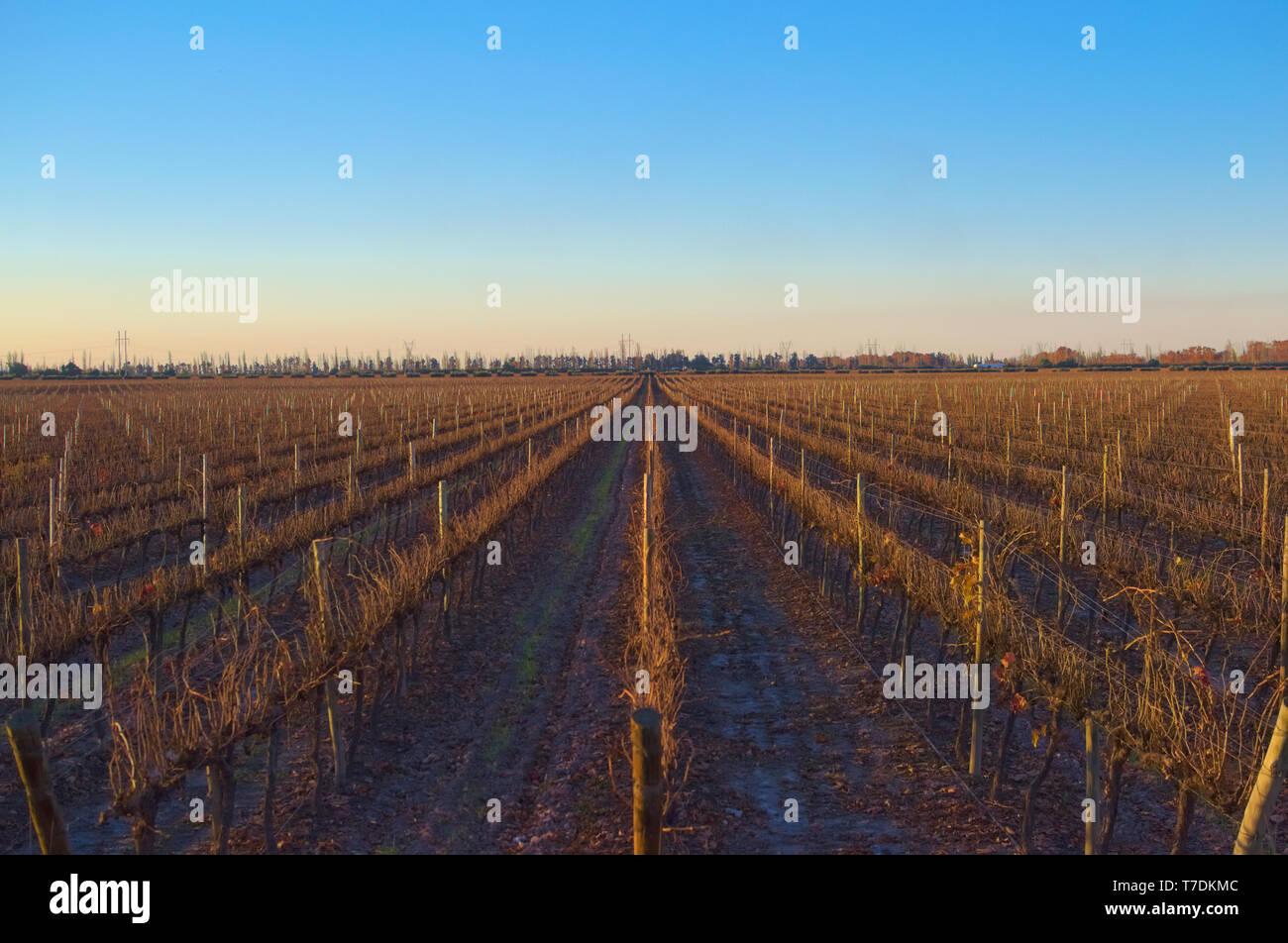 Vineyard rows at sunset in Mendoza, Argentina - Stock Image