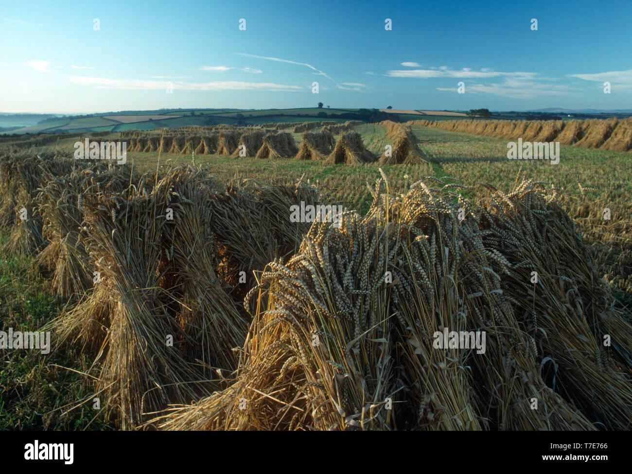 Stooks of wheat for Thatching, Devon, UK - Stock Image