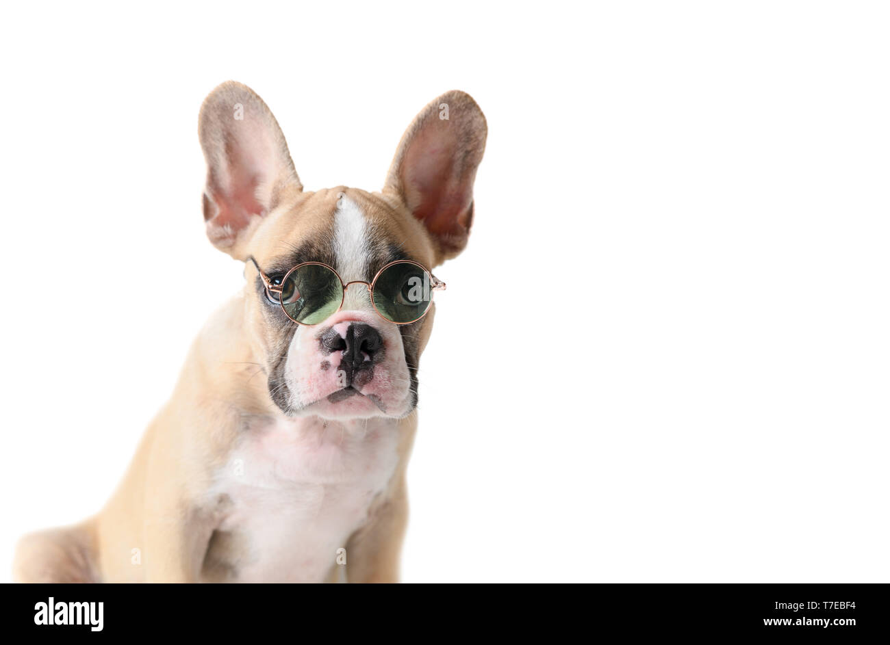 bd604878 Cute french bulldog wear sunglass isolated on white background, pet in  summer concept - Stock