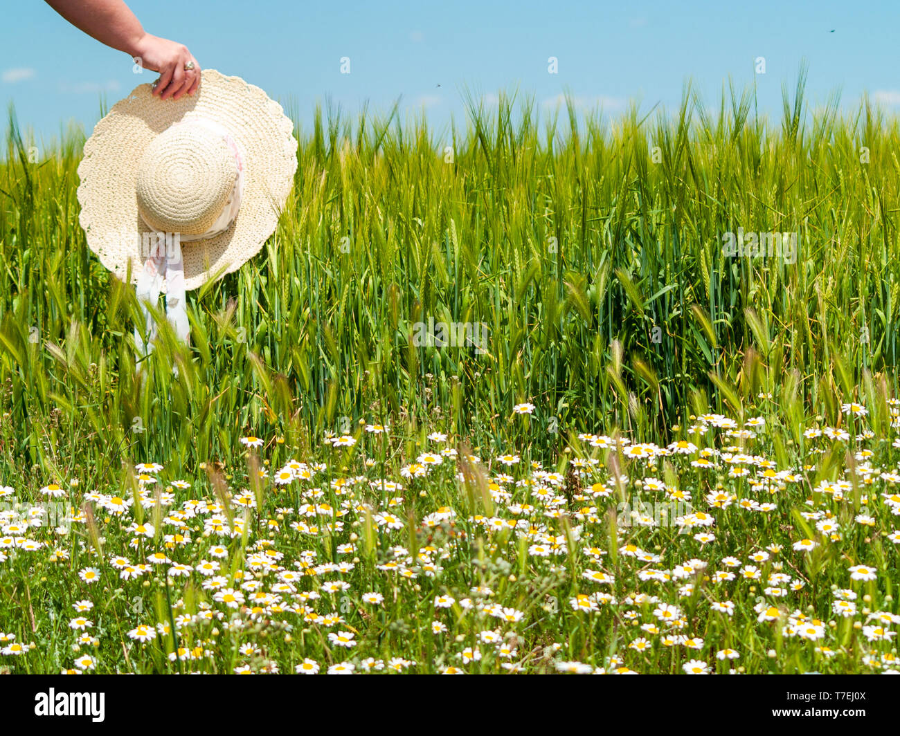 Unrecognizable with a straw hat in his hand in a farm field in spring barley person - Stock Image
