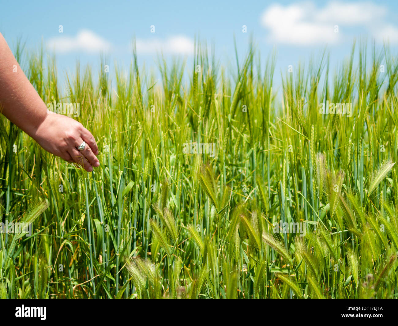 Unrecognizable person playing with his hand the plants in a crop field in spring barley - Stock Image