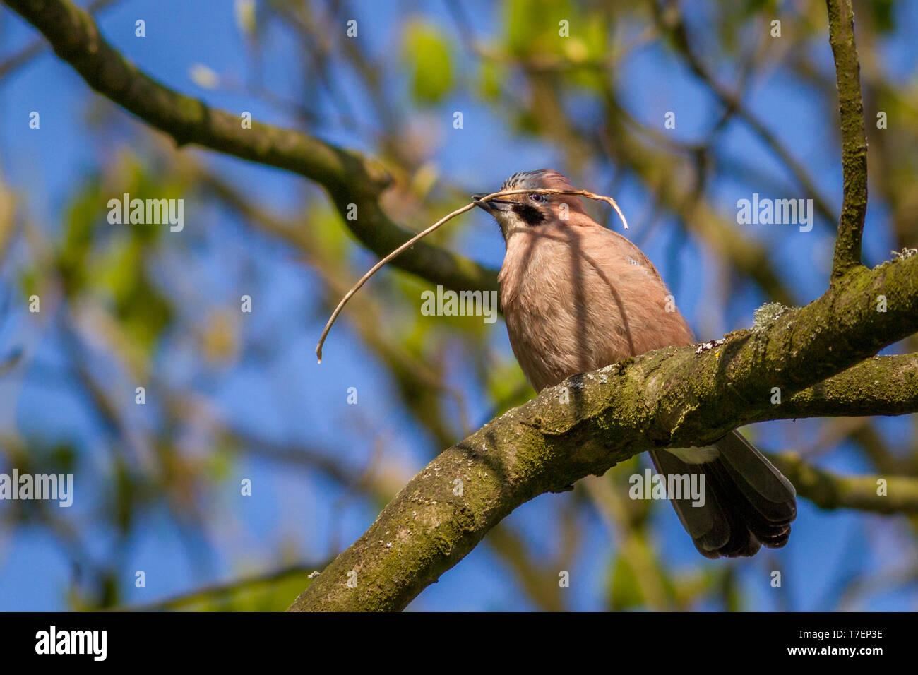 Jay, Garrulus glandarius, collecting nesting material in its beak, perched in a tree UK - Stock Image