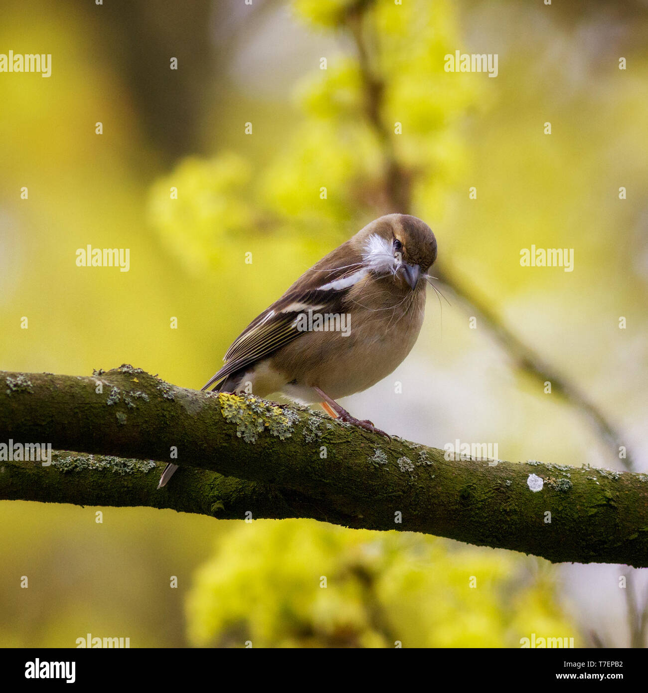 Female Chaffinch collecting Stock Photo