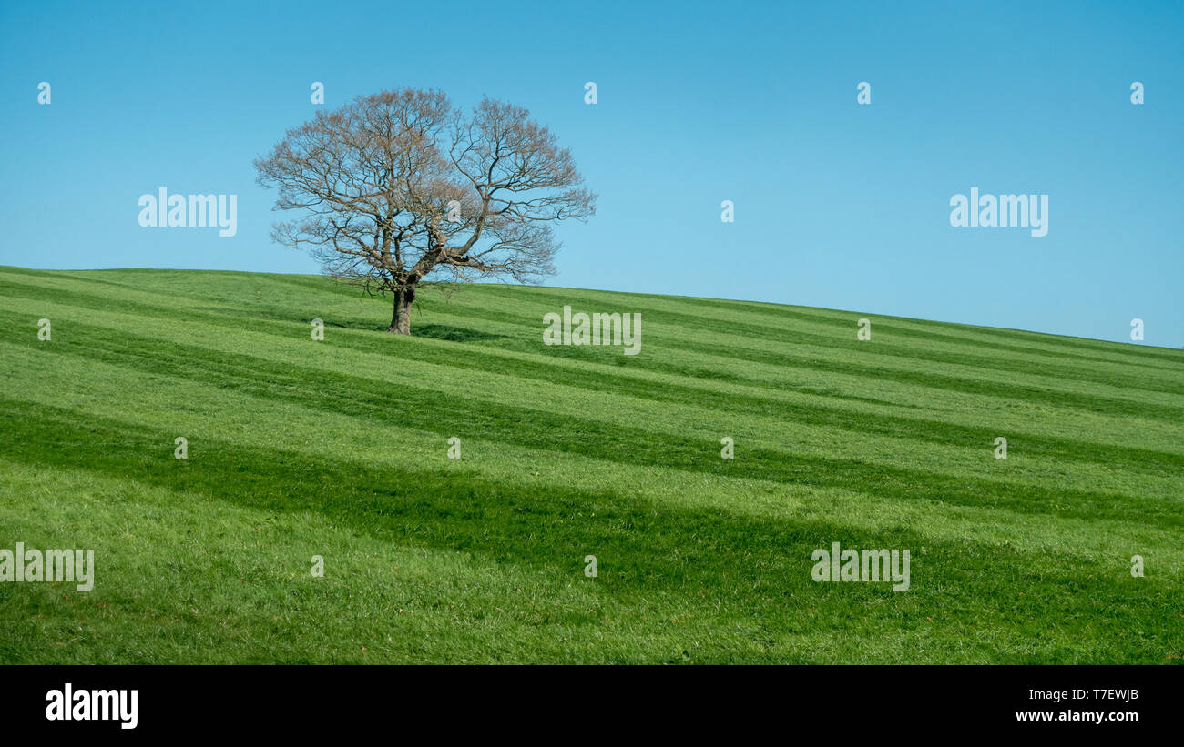 Wide grass stripes in a field from a silage cut on farmland with a solitary tree and blue sky - Stock Image
