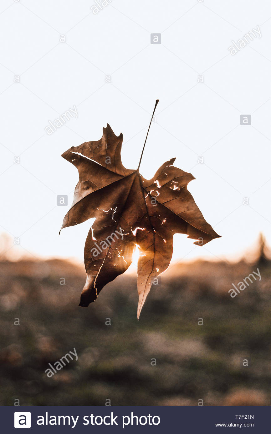 dry leaf falling - Stock Image