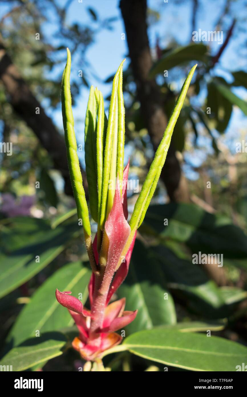 An unopened bud of a rhododendron flower, in Hendricks Park in Eugene, Oregon, USA. - Stock Image