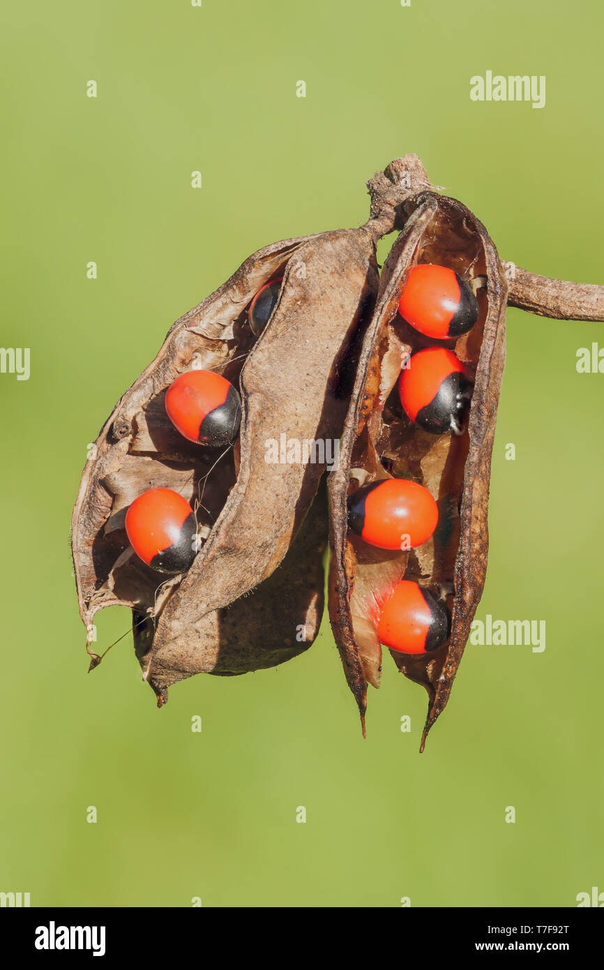 Rosary Pea (Abrus precatorius) seedpods showing the bright red seeds, which are highly toxic to humans. Stock Photo
