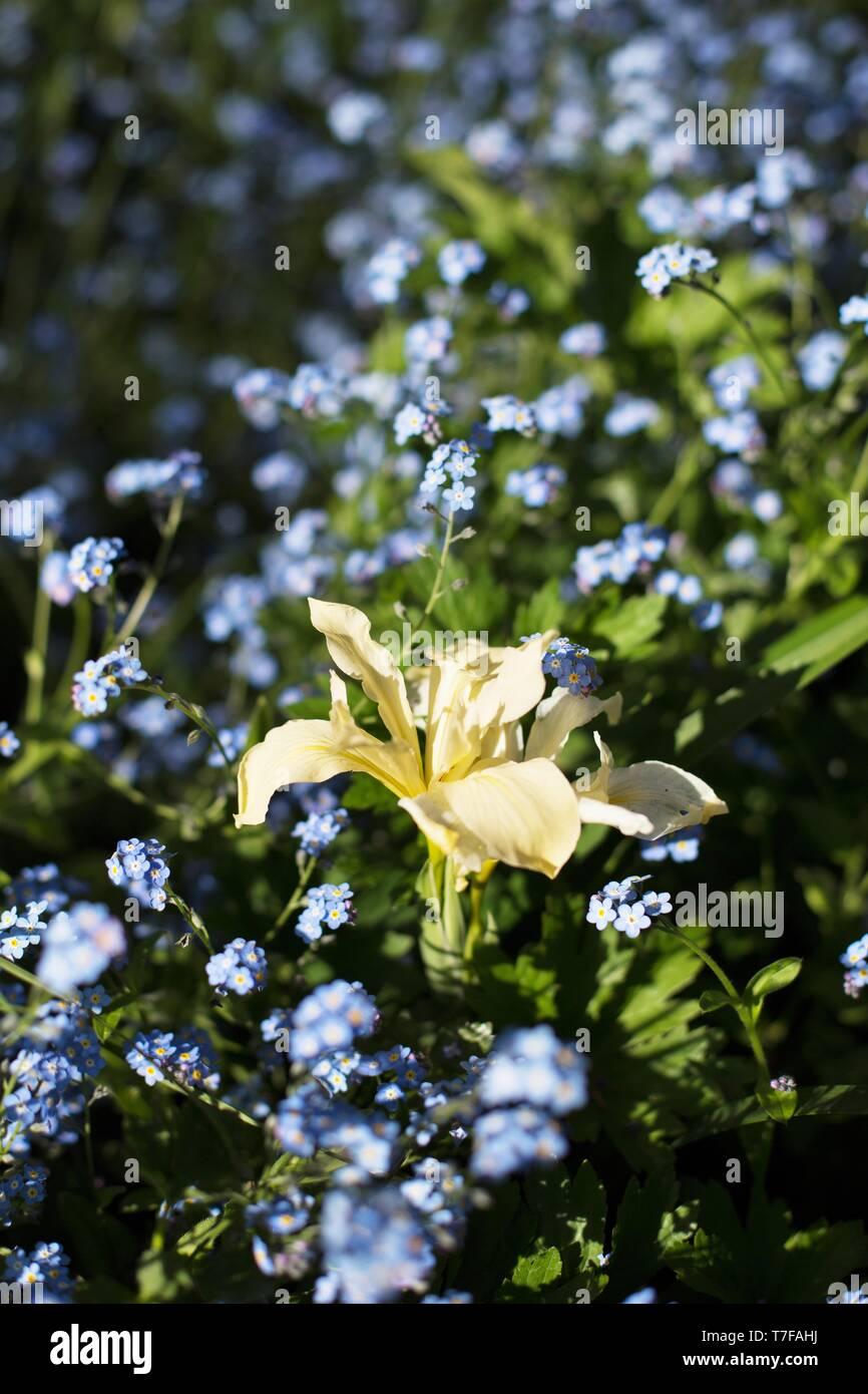 Pin D Oregon Couleur chrysophylla stock photos & chrysophylla stock images - alamy