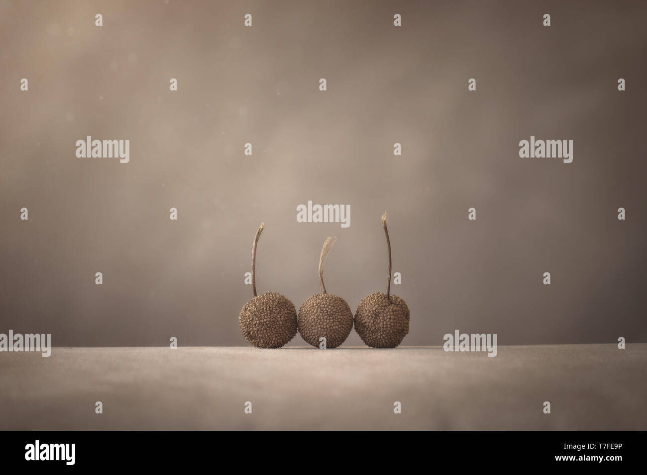 Three Sycamore tree seed pods on a warm light brown backlground.  Lots of space for graphics or copy. - Stock Image