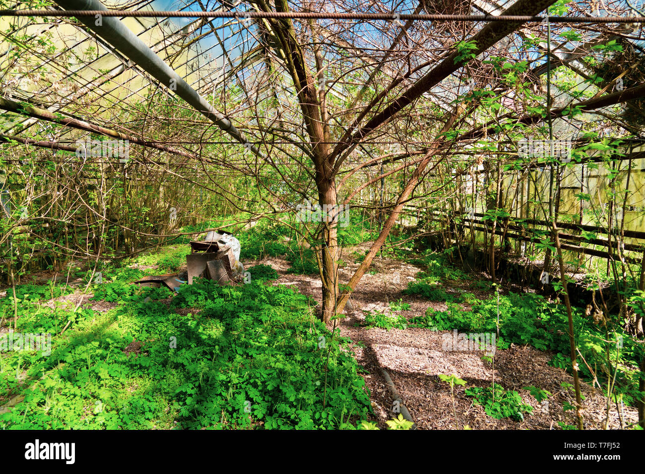 Old abandoned greenhouse. Post-apocalyptic climate. Greenhouse overgrown with bushes and spring thickets - Stock Image