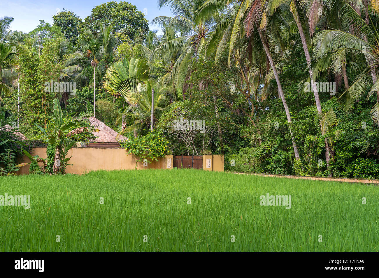 Landscape With Green Rice Fields House And Palm Trees At
