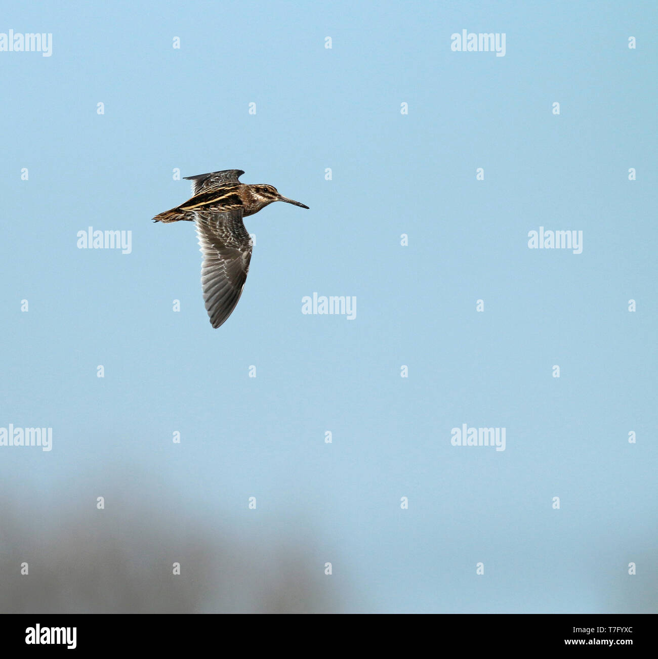 Jack Snipe (Lymnocryptes minimus) in flight, seen from the side and showing upperwing. Stock Photo
