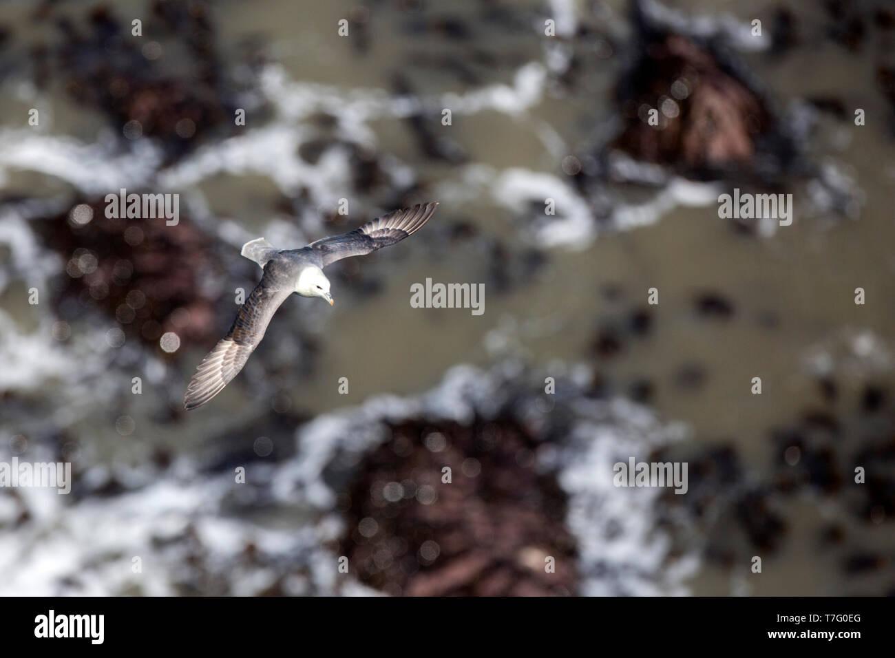 Northern Fulmar, Fulmarus glacialis - Stock Image