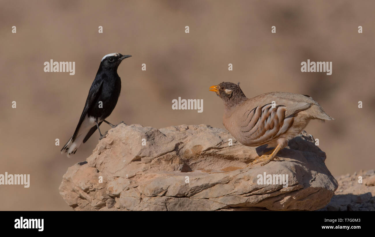 Side view of an adult White-crowned Wheatear (Oenanthe leucopyga) on a rock with a 1cy male Sand Partridge (Ammoperdix heyi). Israel - Stock Image
