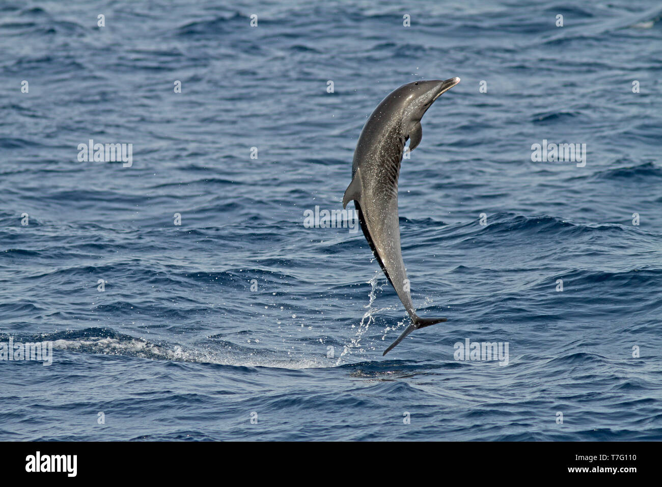 Pantropical spotted dolphin (Stenella attenuata) jumping out of the water - Stock Image