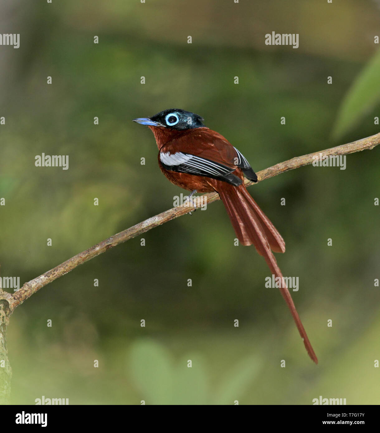 Male Madagascar Paradise Flycatcher (Terpsiphone mutata) also known as Malagasy paradise flycatcher, perched on  a twig in Madagascar. Stock Photo