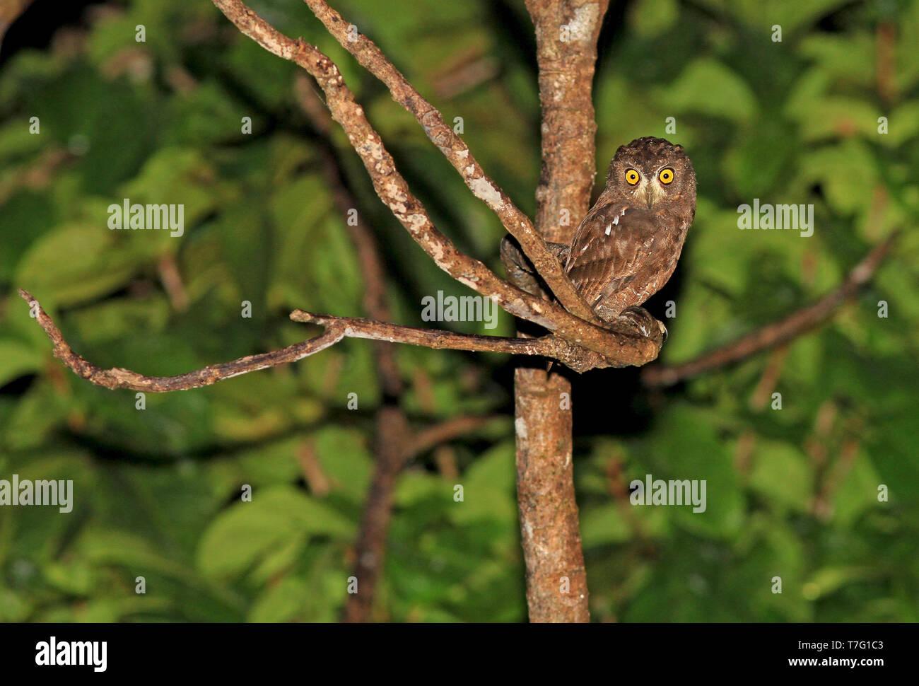 Enggano Scops Owl Otus Enganensis At Night In Rain Forests Of Sumatra In Indonesia Stock Photo Alamy