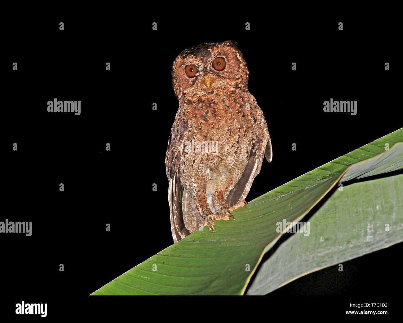 Mentawai Scops-owl (Otus mentawi) at night in rain forests of Sumatra in Indonesia. - Stock Image