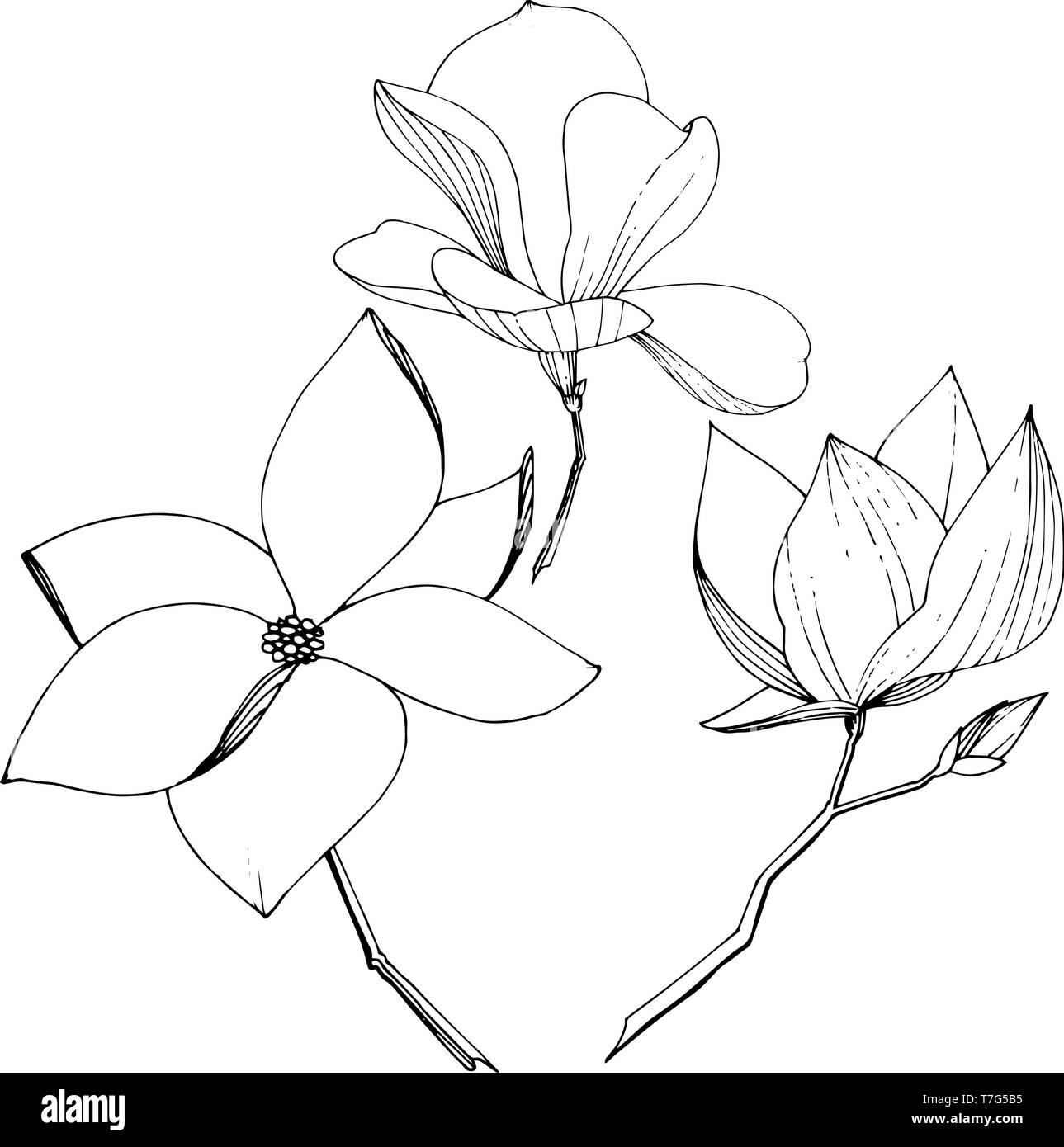 Vector Magnolia Foral Botanical Flowers Black And White Engraved