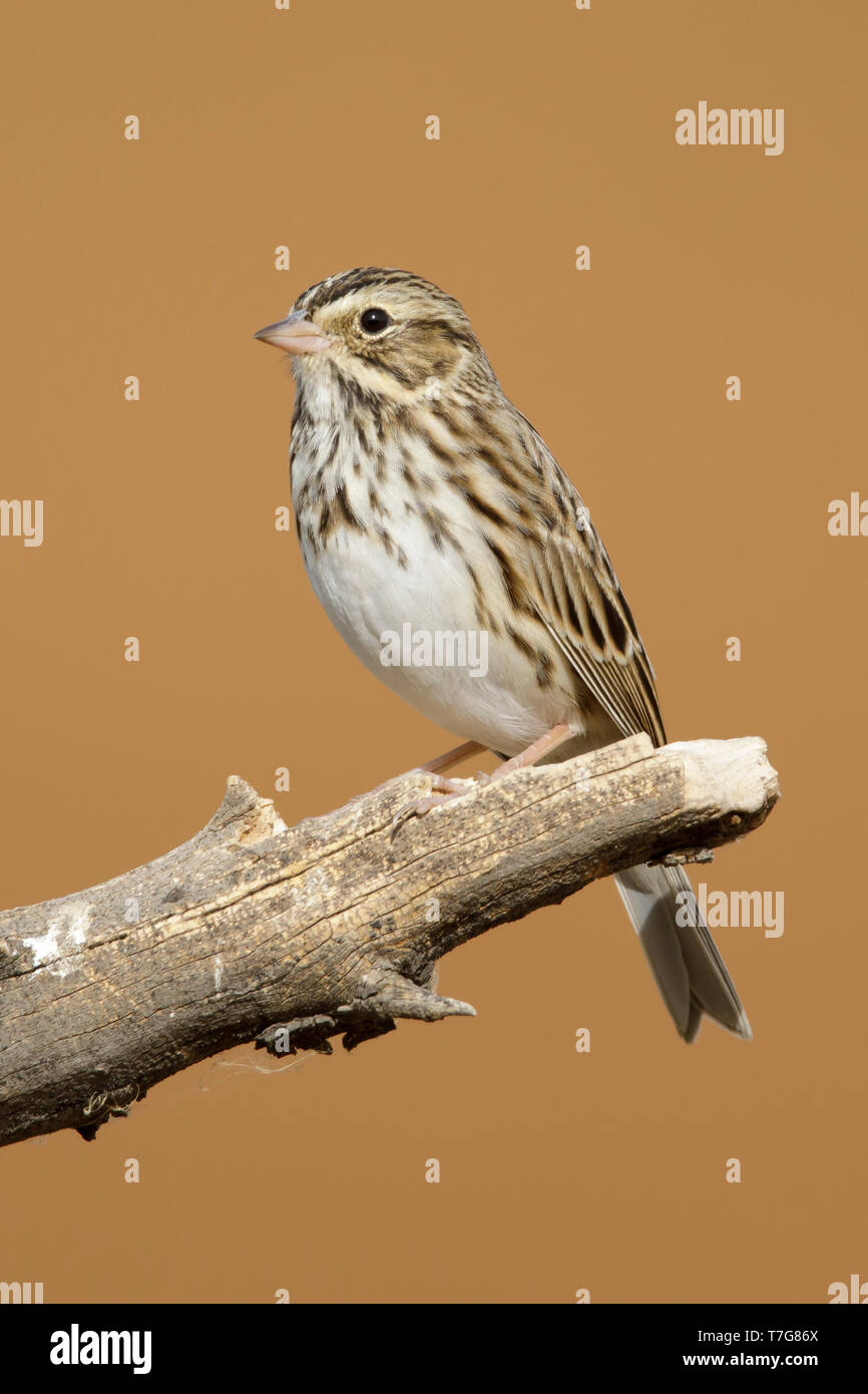 Adult Savannah Sparrow (Passerculus sandwichensis) in late autumn perched on a branch in in Riverside County, California, USA. Stock Photo