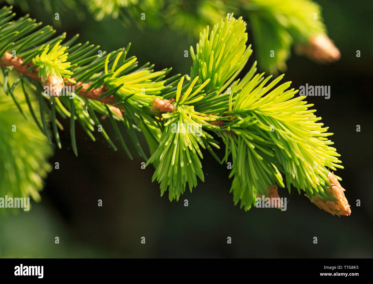 Expanding pale-green shoots from reddish-brown buds of Norway Spruce, Picea abies, in spring. - Stock Image