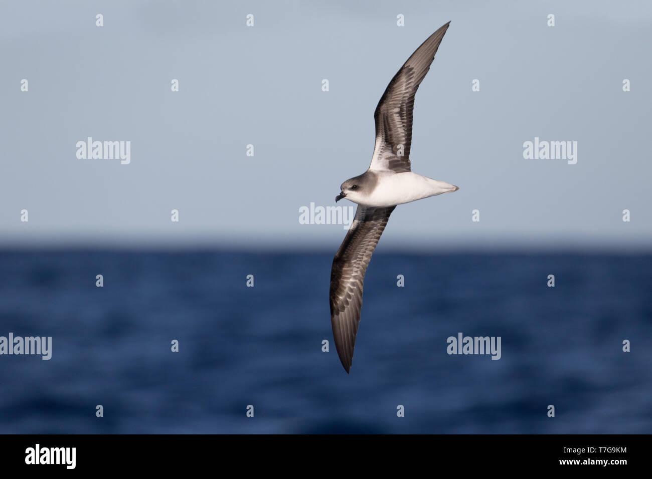 Adult Zino's Petrel or freira (Pterodroma madeira) off Madeira. Flying above the Atlantic ocean. Seen from the side, showing under wing pattern. Stock Photo