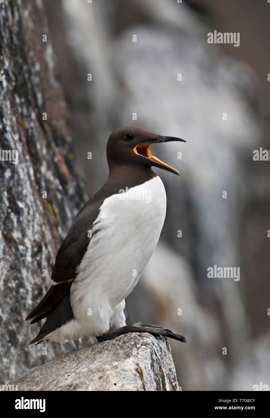 Common Guillemot, Uria aalga - Stock Image