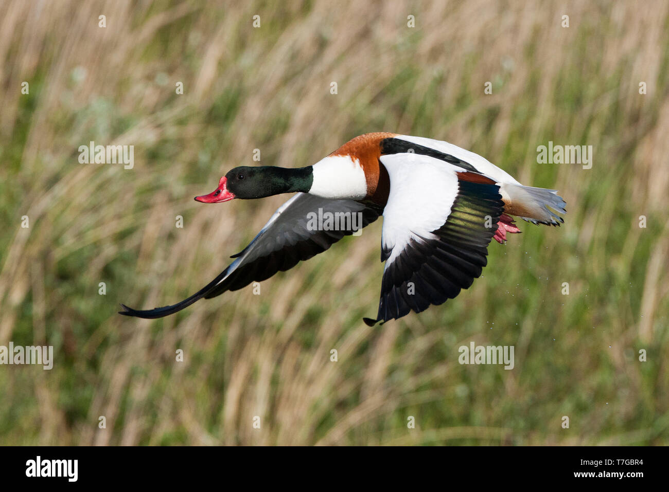 Male Common Shelduck (Tadorna tadorna) taking off from a small lake in the dunes of Texel, Netherlands. Trailing water drops behind. - Stock Image
