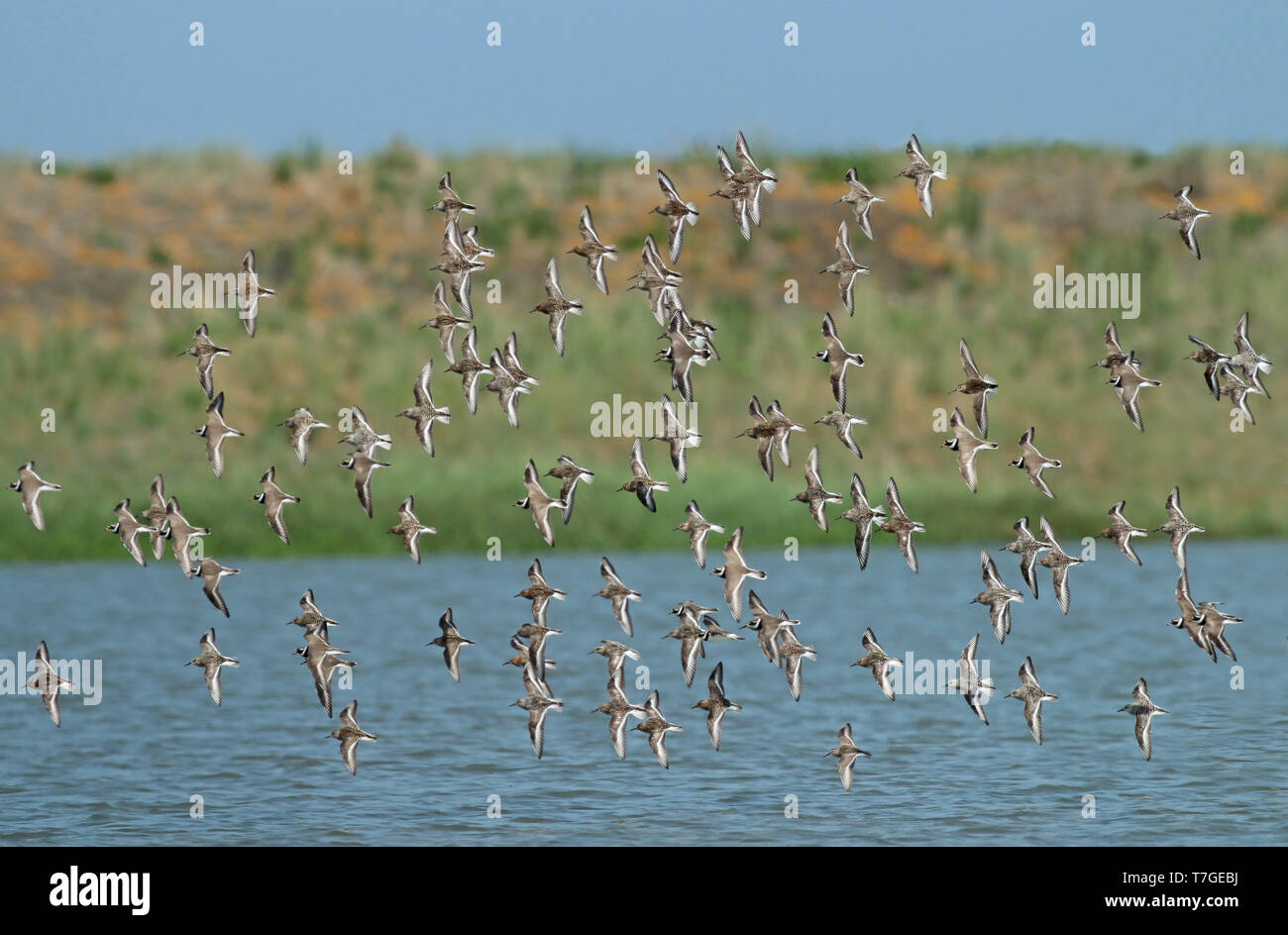 Mixed species wader flock at the Wadden Sea in the Netherlands. - Stock Image