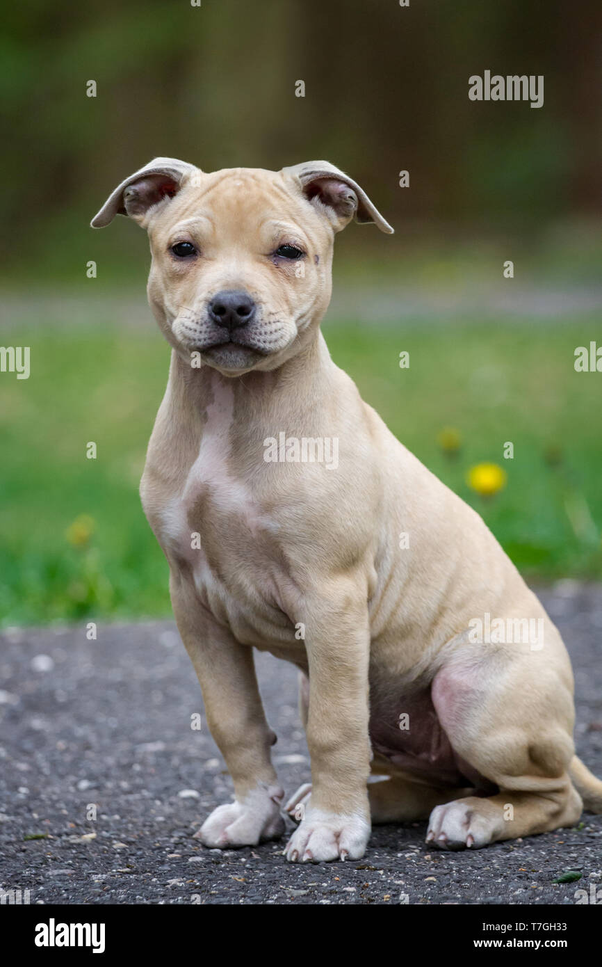 are pit bulls terriers
