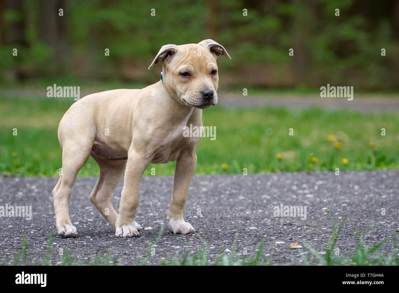 Light brown American Pit Bull Terrier puppy Stock Photo ...