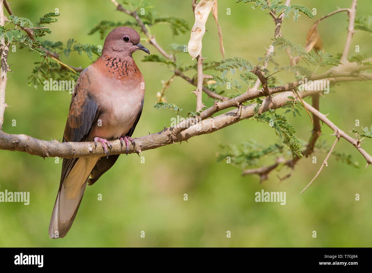 Laughing Dove (Streptopelia senegalensis), adult perched on a branch, Ayn Razat, Dhofar, Oman Stock Photo