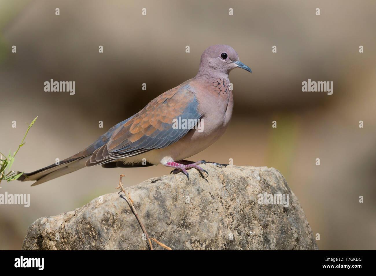 Laughing Dove (Streptopelia senegalensis), adult perched on a rock, Wadi Darbat, Dhofar, Oman Stock Photo