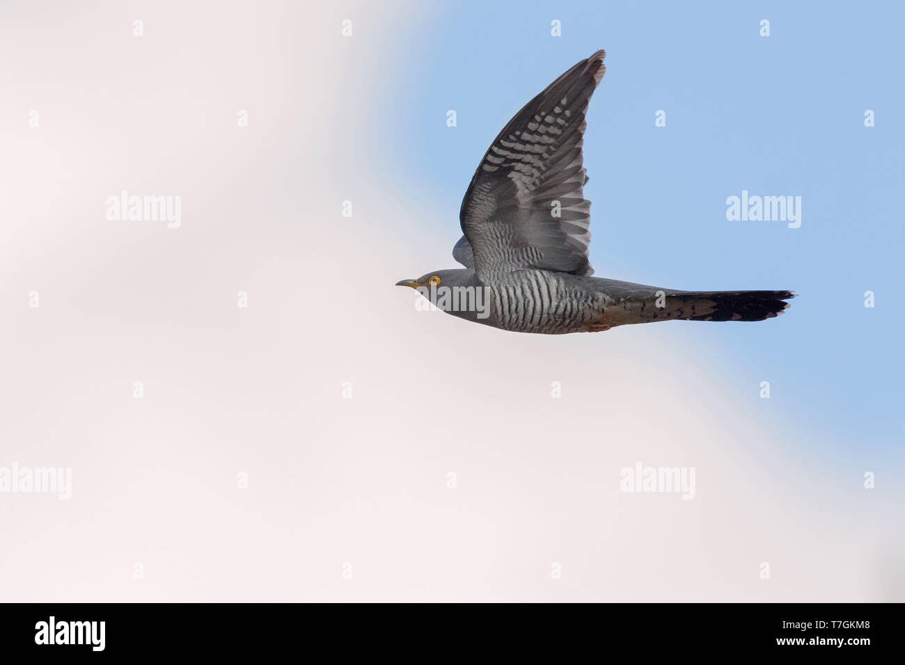 Common cuckoo (Cuculus canorus), adult in flight, Oulu, Northern Ostrobothnia, Finland - Stock Image