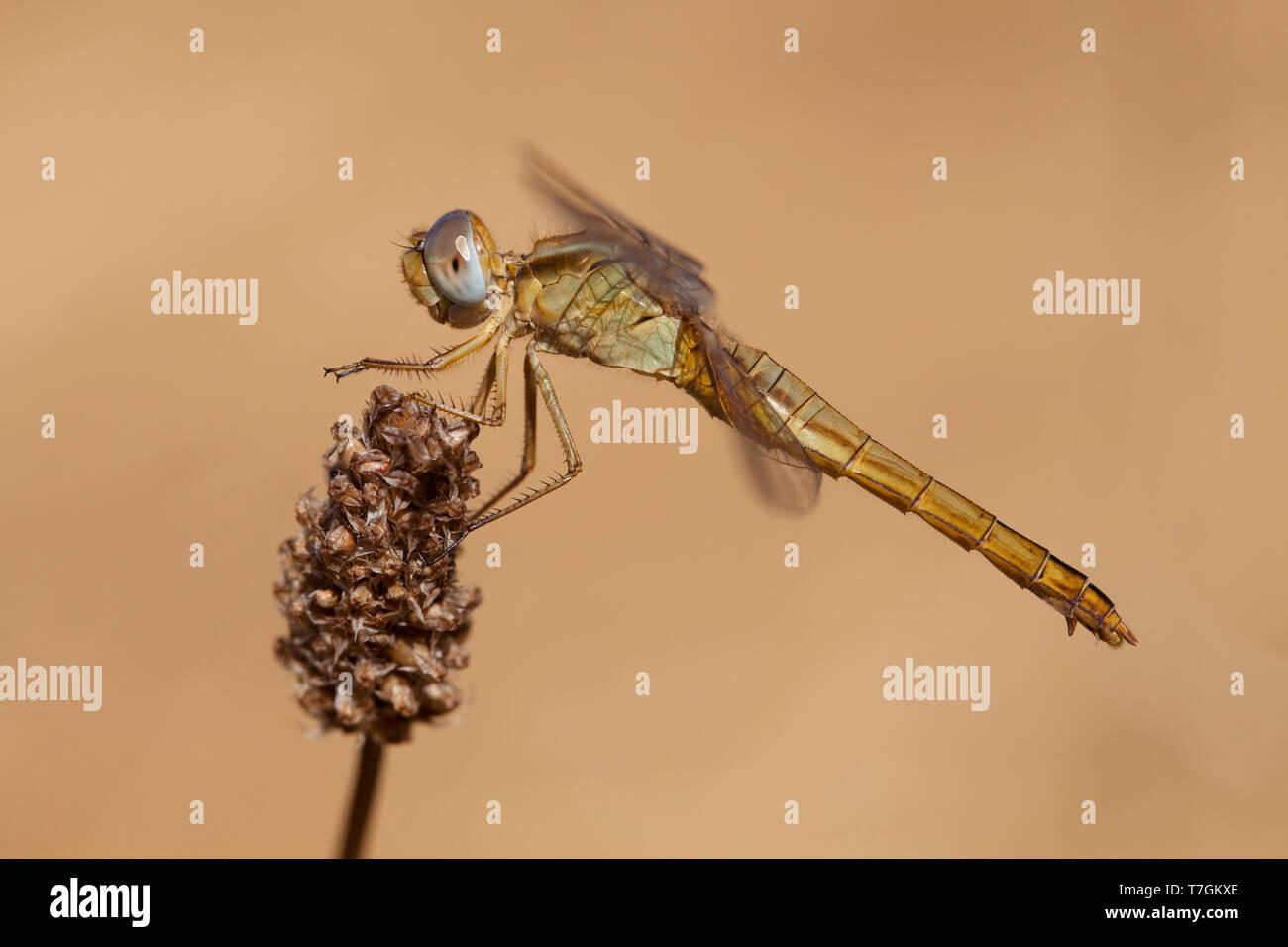Imago Vuurlibel; Adult Scarlet Darter; Adult Broad Scarlet Stock Photo