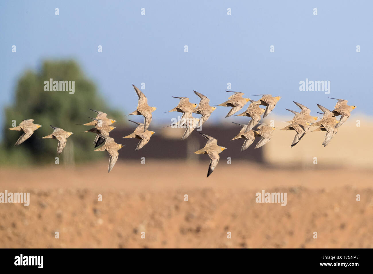 Spotted Sandgrouse (Pterocles senegallus), a flock flying over the desert in Morocco Stock Photo