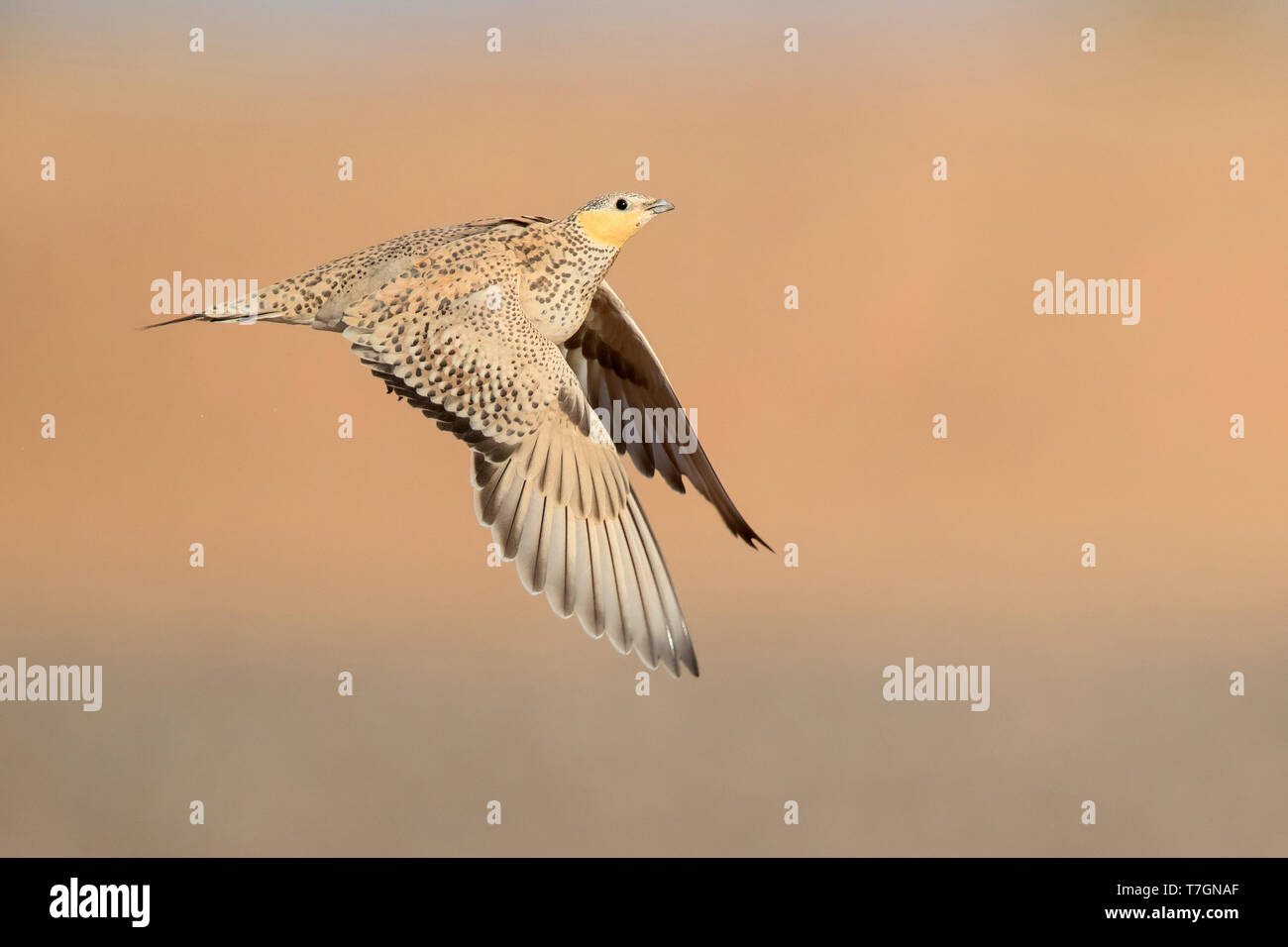 Spotted Sandgrouse (Pterocles senegallus), adult female in flight Stock Photo