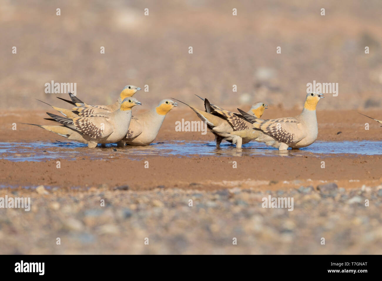 Spotted Sandgrouse (Pterocles senegallus), small flock at drinking pool Stock Photo