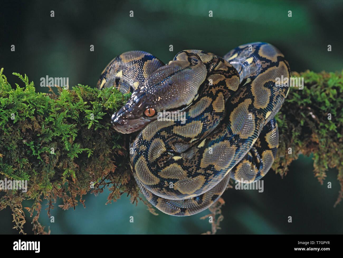 Indonesia. Sumatra. Wildlife. Snake. Reticulated Python. Python reticulatus. - Stock Image