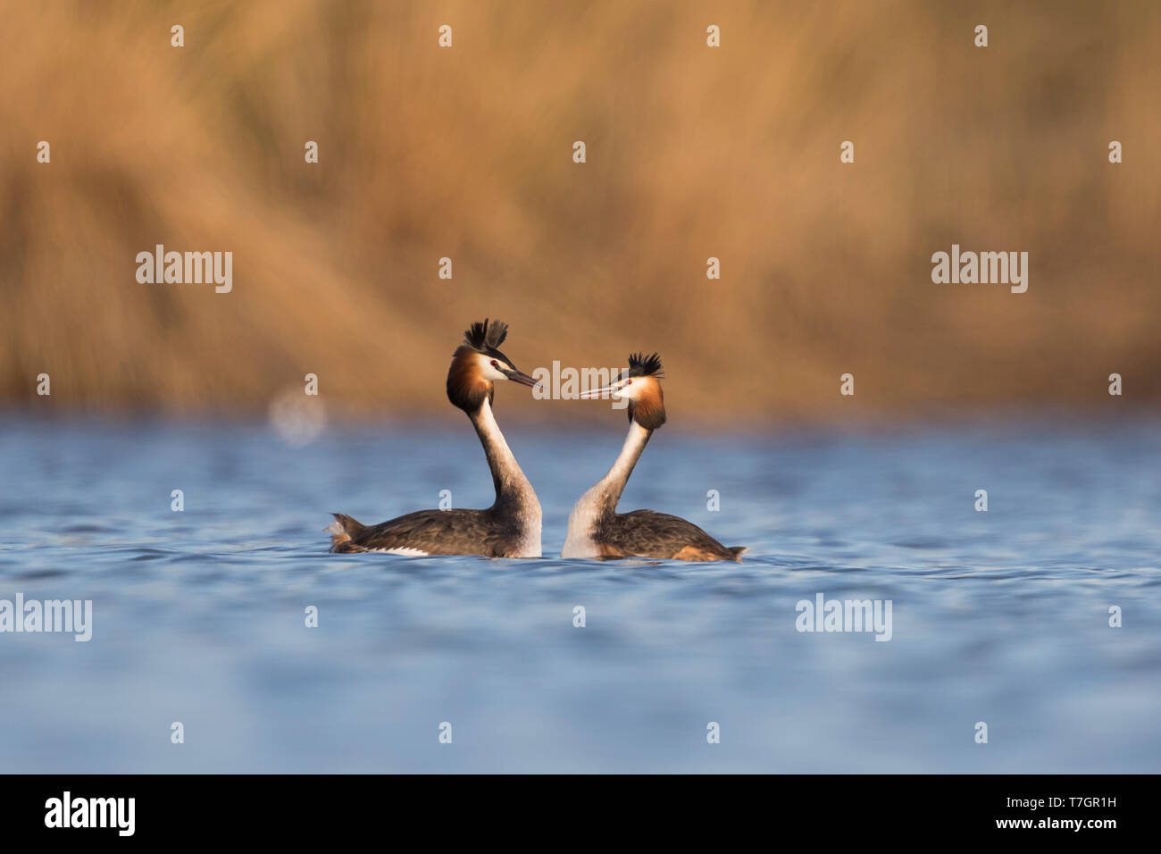 Two Great Crested Grebes (Podiceps cristatus) in courtship in fresh water lake in Austria. - Stock Image